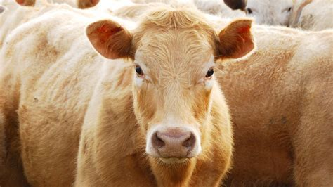 "Would a ""Heat Resistant"" Cow Mean Better Beef?   Food & Wine"