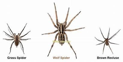 Wolf Spiders Spider Recluse Brown Bite Bites