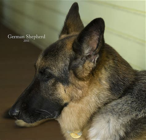 German Shepherd  The German Shepherd  Ee  Dog Ee   Also