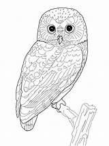 Owl Coloring Printable Birds Folder sketch template