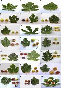 Leaf And Fruit Shapes Of Edible Ficus Carica Varieties In Fars