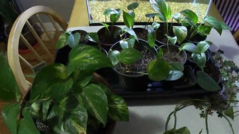 plant pothos philodendron bushier plants care different heart varieties same