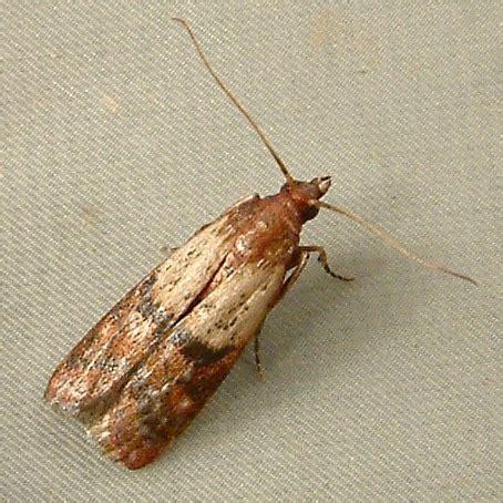 Getting Rid Of Kitchen Moths Greenmomcom