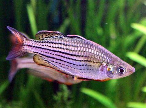 maccullochs rainbowfish genus melanotaenia species