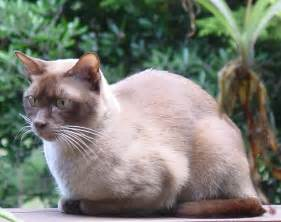 burmese cat file burmese chocolate cat jpg
