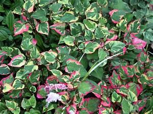 Couvre Sol Vivace : fleurs blanches vivaces couvre sol ~ Premium-room.com Idées de Décoration