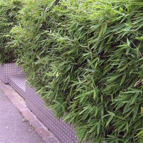 fargesia rufa en pot bamboo plants fargesia rufa clarenbridge garden centre