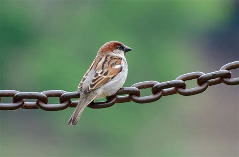 birds texas sparrow guide field living heritage