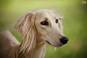 Saluki dog hereditary health and average longevity