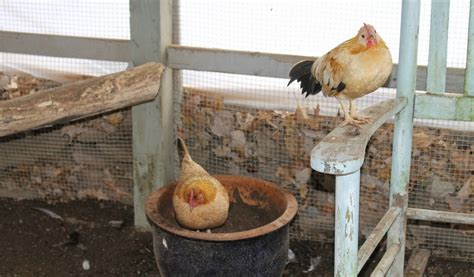 chicken roosting ideas give chickens  place  roost