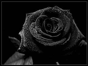 Black rose, black, gothic, nature, rose 181956