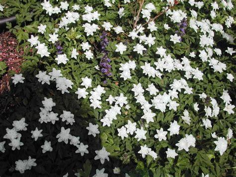 flowering perennial ground cover white flowering ground cover iimajackrussell garages best flowering ground cover ideas