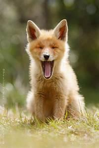 fox_cub_cute - Roeselien Raimond Nature Photography
