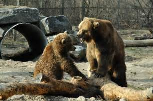 Grizzly Bear Fight