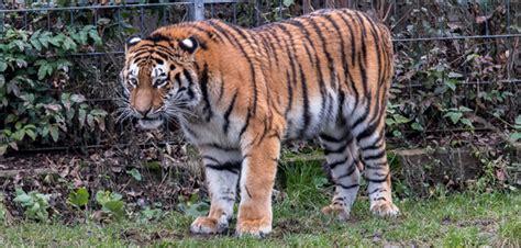 sergan ist der neue tigerkater im koelner zoo koelnde