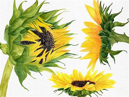 Sunflower Watercolor Clipart Illustrations Thehungryjpeg Lecoqdesign Graphics