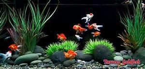 Die Besten Aquarien : die besten 25 goldfish aquarium ideen auf pinterest ~ Lizthompson.info Haus und Dekorationen