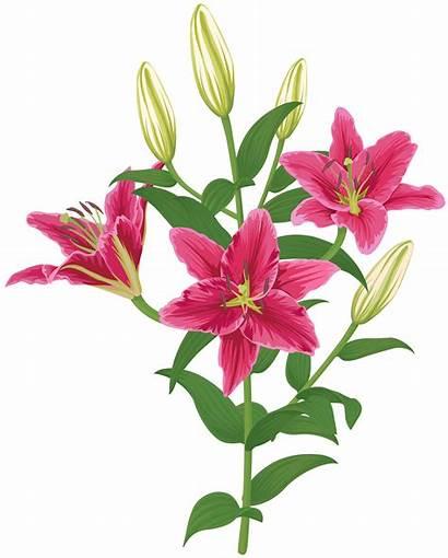 Transparent Clip Flower Lily Lilium Clipart Flowers