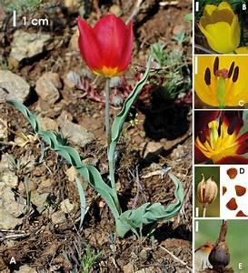 Tulipa Albanica  A  Habit  B  Flower Of Yellow Form  C