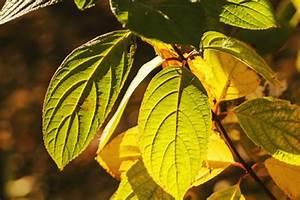 Schmucklilie überwintern Gelbe Blätter : hortensien pflanzen pflegen schneiden und mehr ~ Eleganceandgraceweddings.com Haus und Dekorationen