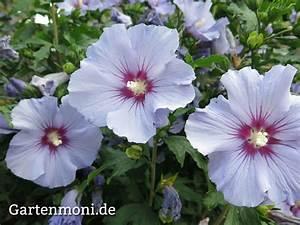 Wann Schneidet Man Hibiskus : pflege von hibiskus hibiskus pflege hibiskus als ~ Lizthompson.info Haus und Dekorationen