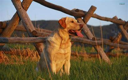 Labrador Retriever Dog Yellow Wallpapers Induced Collapse