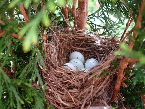 house finch nest of eggs nests pinterest