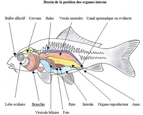 ou se trouve le siege de l unicef l 39 anatomie de la carpe koï partie 3