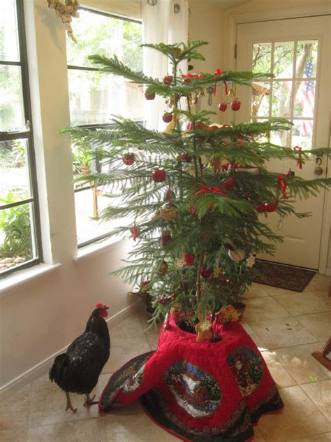 tropical texana norfolk island pine christmas tree this