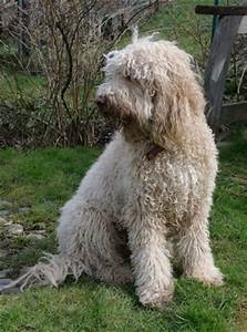 Upcoming litter: vom Springbell (SWI) - Barbet: French ...
