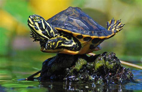 aquatic turtles factsram blogspot pond slider turtle
