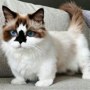 munchkin cat scottish fold 15 amazingly scottish fold munchkin kittens bone yarn