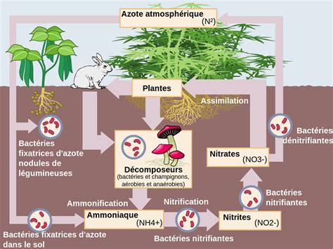 faire baisser nitrate aquarium cycle de l azote wikip 233 dia
