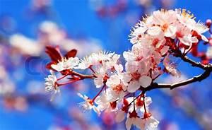 Blumen Im Frühling : kirschbaum blumen bl hen im fr hling stockfoto colourbox ~ Orissabook.com Haus und Dekorationen