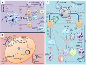 Schematic Diagram Depicting The Immunological Events And