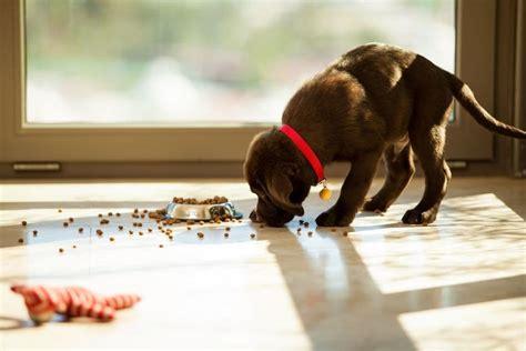 labrador ernaehrung und futter  bleibt ihr hund gesund