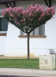 Kleine Bäume Bis 3m : baum aus s dfrankreich lagerstroemia indica ~ Articles-book.com Haus und Dekorationen