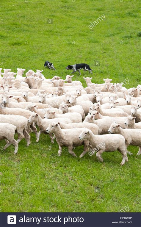 schuppen auf englisch neuseeland nordinsel in der n 228 he wellington hirten und schafe hunde herde schafe in der