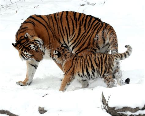 Buy Tiger In The Snow Christmas Card By Pip Mcgarry. Shop