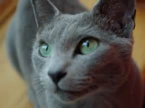 blue gray cat gray cat green oficially she is a blue cat