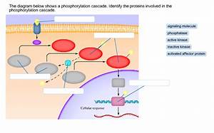 Solved  The Diagram Below Shows A Phosphorylation Cascade