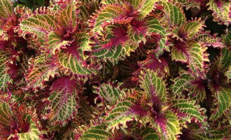 is coleus perennial 28 best is coleus perennial container gardening selecting the right fertilizers plant guide