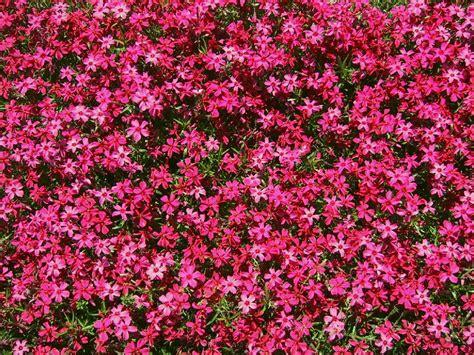 sfondi fioriti sfondi per lo schermo fiori tappeti fioriti