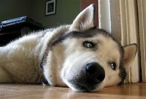 Image Gallery husky puppy sad eyes