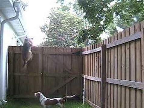 dog climb  fence youtube