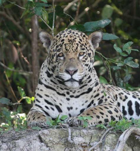 Pantanal Jaguar Safari  Jaguar Holiday  Brazil Safari
