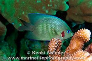 Blueeye Damselfish Plectroglyphidodon johnstonianus