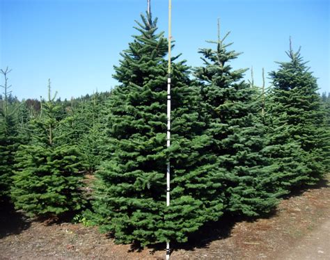 douglas fir tree pictures facts on douglas fir trees