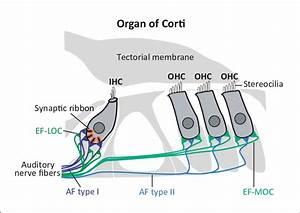 Schematic Drawing Of The Adult Organ Of Corti  The Sensory