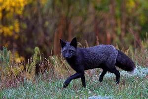 Black Fox Hunting Photograph by Jim Garrison